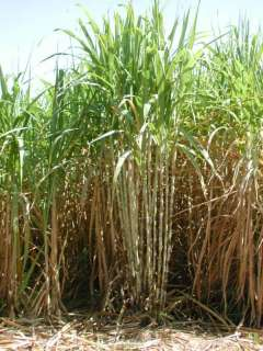 Stem Cutting SUGAR CANE, SACCHARUM OFFICINARUM Plant